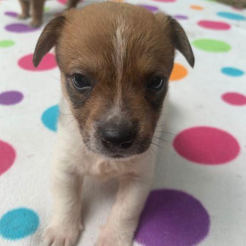 Sandy - Chihuahua Dog