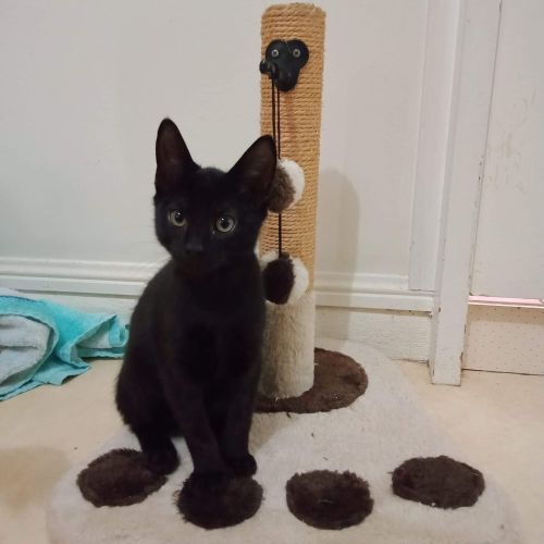 Noir - Domestic Short Hair Cat