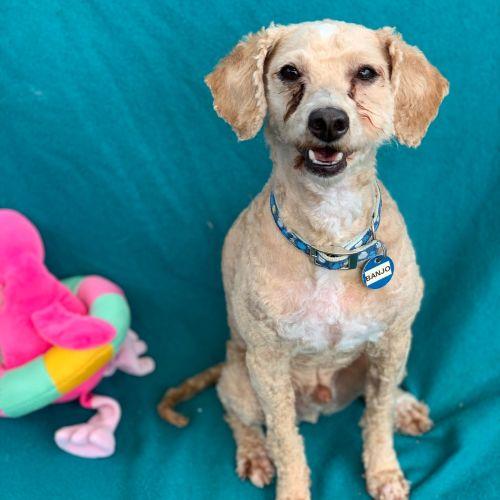 Banjo - Maltese x Poodle Dog