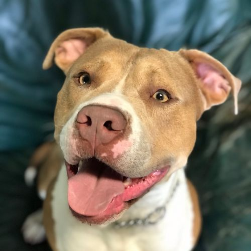 Tank - American Staffordshire Terrier Dog