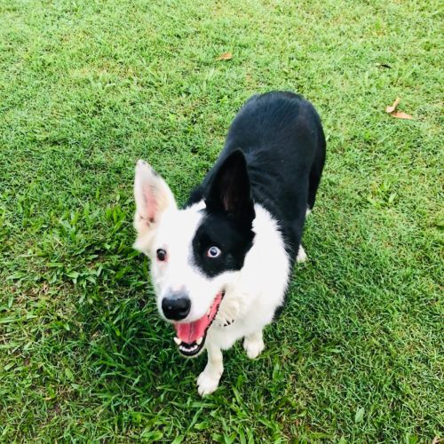 Lucy 💙💙 - Border Collie Dog