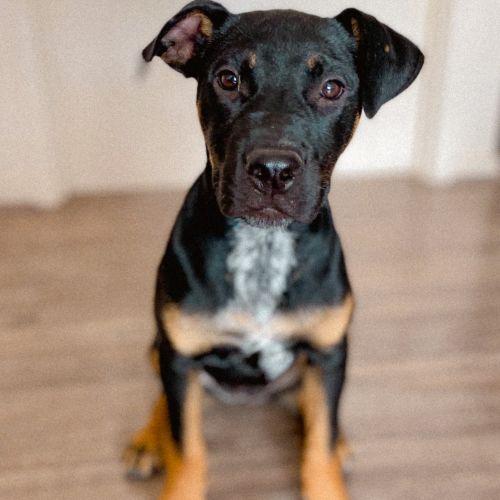 Millie - Rottweiler x Cattle Dog