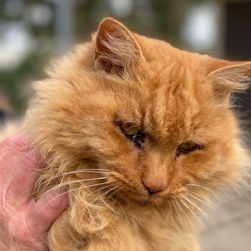 Garfield /Mustard - Domestic Long Hair Cat