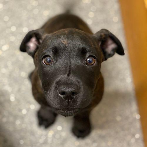 Luna Lovegood (aka Luna Longlegs) - Staffordshire Bull Terrier x Corgi Dog