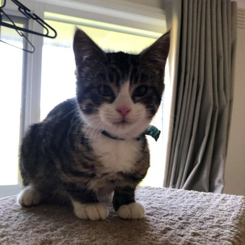Muffin **2nd Chance Cat Rescue**