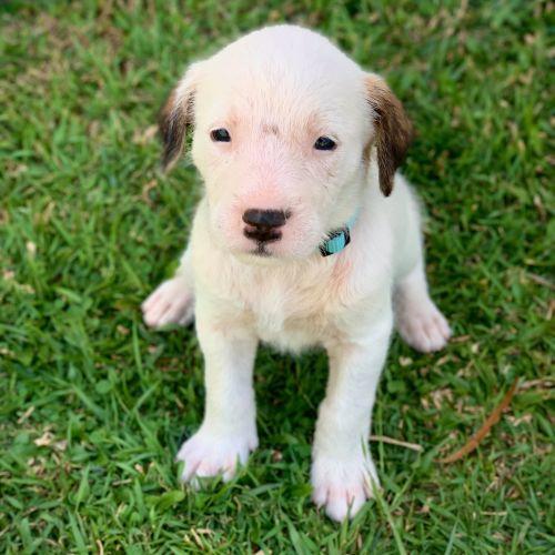 Arctic - Irish Wolfhound Dog