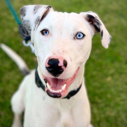 Patch ~$150 Adoption Fee ~ - Dalmatian x Koolie Dog