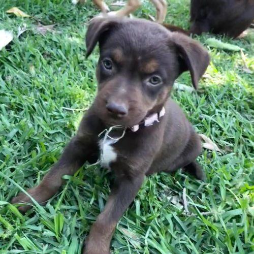 Reese  - Kelpie Dog