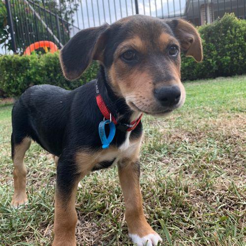 Finch - Kelpie Dog