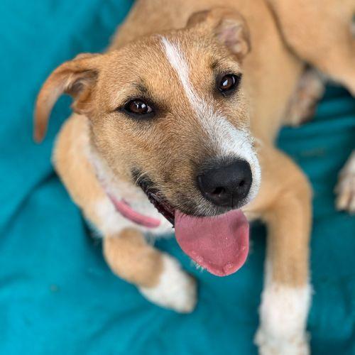 Max - Wolfhound Dog