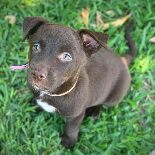 Lindt - Kelpie Dog