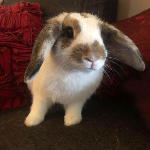 Victa - Dwarf lop Rabbit