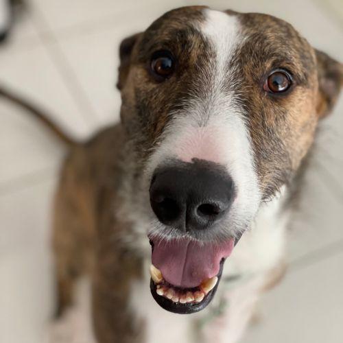 Albus - Staghound Dog