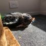 Photo of Peter **2nd Chance Cat Rescue**
