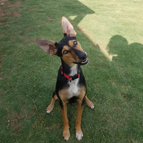 """Aggie"" - Kelpie x Jack Russell Terrier Dog"
