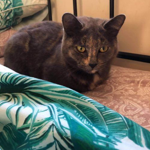 Moon - Domestic Short Hair Cat