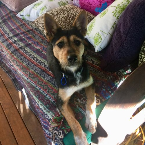 Shadow ~ 6 month old Kelpie X Terrier - Kelpie x Terrier Dog