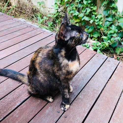 Apple Pie  - Oriental x Domestic Short Hair Cat