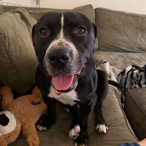 Roscoe - Staffy Dog