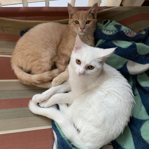 Noah & April ❤ - Domestic Short Hair Cat