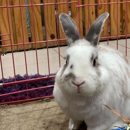 Rupert  - Lop Eared Rabbit