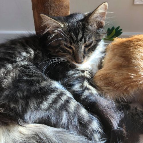 Peter **2nd Chance Cat Rescue** - Domestic Short Hair Cat