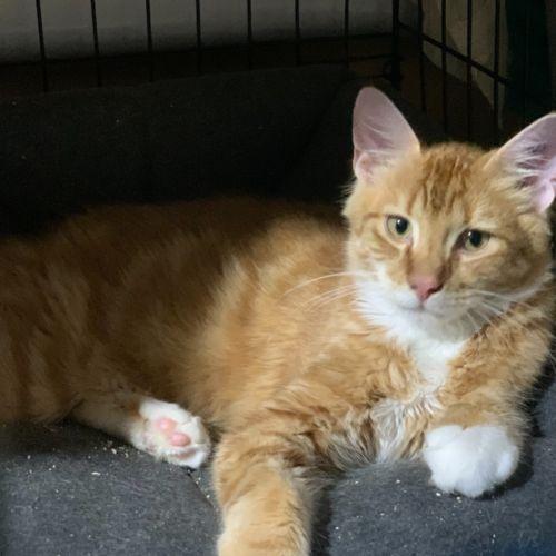 Flame 🔥  - Domestic Medium Hair Cat