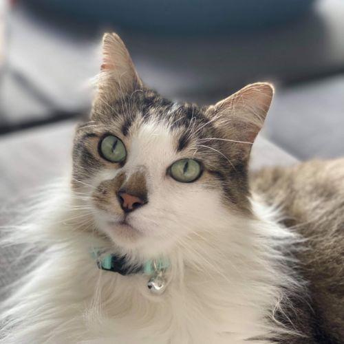 Rain - Domestic Medium Hair Cat