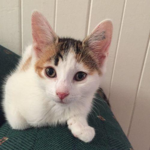 Valentina ^^Dandy Cat Rescue^^ - Domestic Short Hair Cat