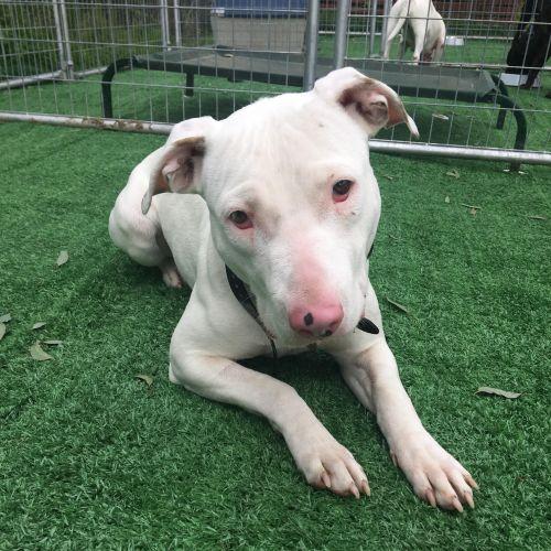 Aura - Bull Terrier x Staffy Dog