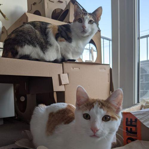 Nala & Ted - Domestic Short Hair Cat