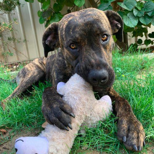 Cody DL2428 - Staffy Dog
