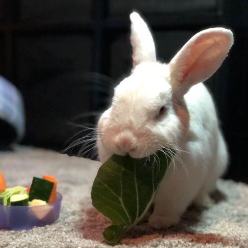 Benny - Domestic Rabbit