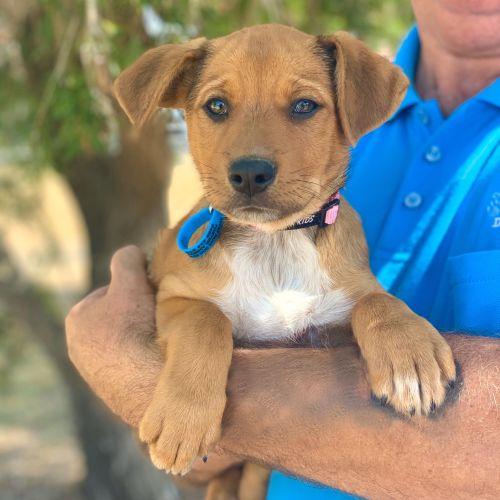 Wren - Kelpie Dog