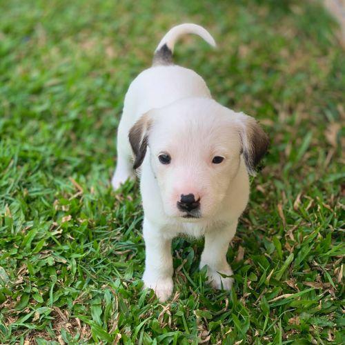 Pearl - Irish Wolfhound Dog