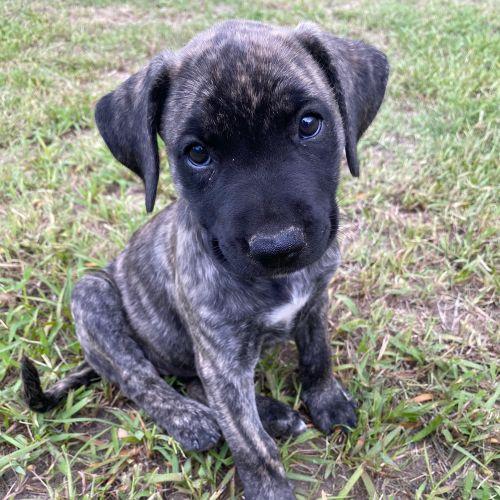 Ash - Rhodesian Ridgeback x Mastiff Dog