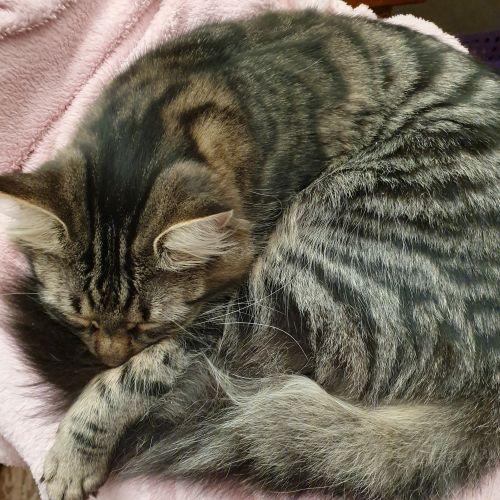 Tinkerbell - Domestic Medium Hair Cat