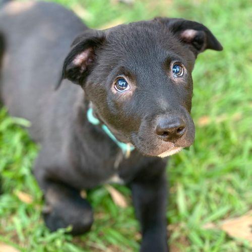 Gus ~ Adoption Pending ~ - Kelpie x German Shepherd Dog