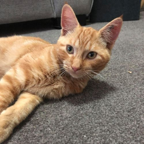 Denahi (Located in Essendon) - Domestic Short Hair Cat