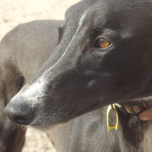 Snip - Greyhound Dog