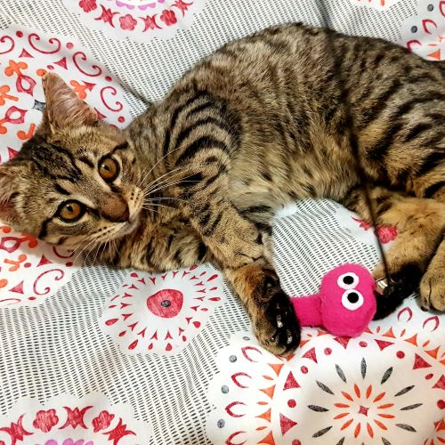 Ash - Bengal Cat