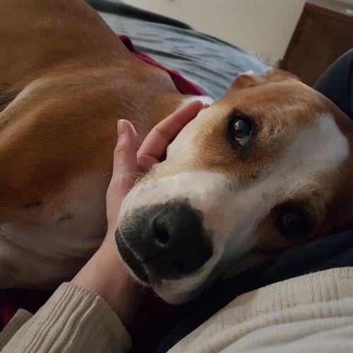 Rebel ~ 4 year old Boxer X - Boxer Dog
