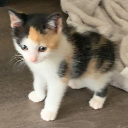 Rona - Manx Cat