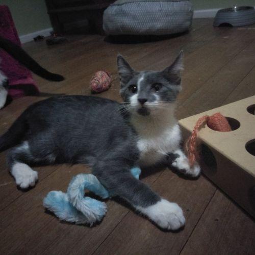 Miso - Domestic Short Hair Cat