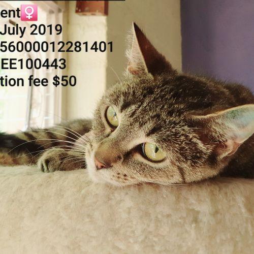 Millicent - Domestic Short Hair Cat