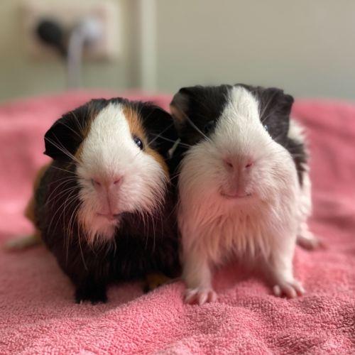 Mickey & Donald  - Smooth Hair Guinea Pig