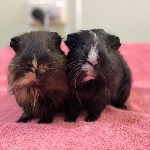 Milo and Oreo - Smooth Hair Guinea Pig