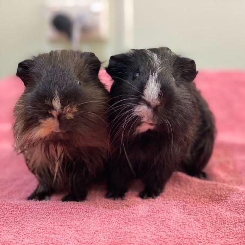 Milo and Oreo - Smooth Hair Guinea Pig