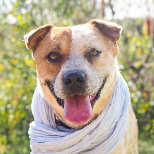 Mason - Cattle Dog x Shar-Pei Dog