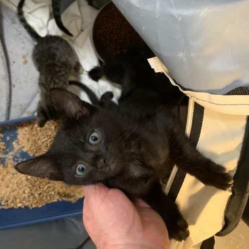 Ziva - Domestic Short Hair Cat